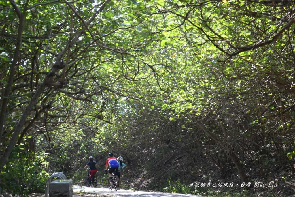 茂密木麻黃林