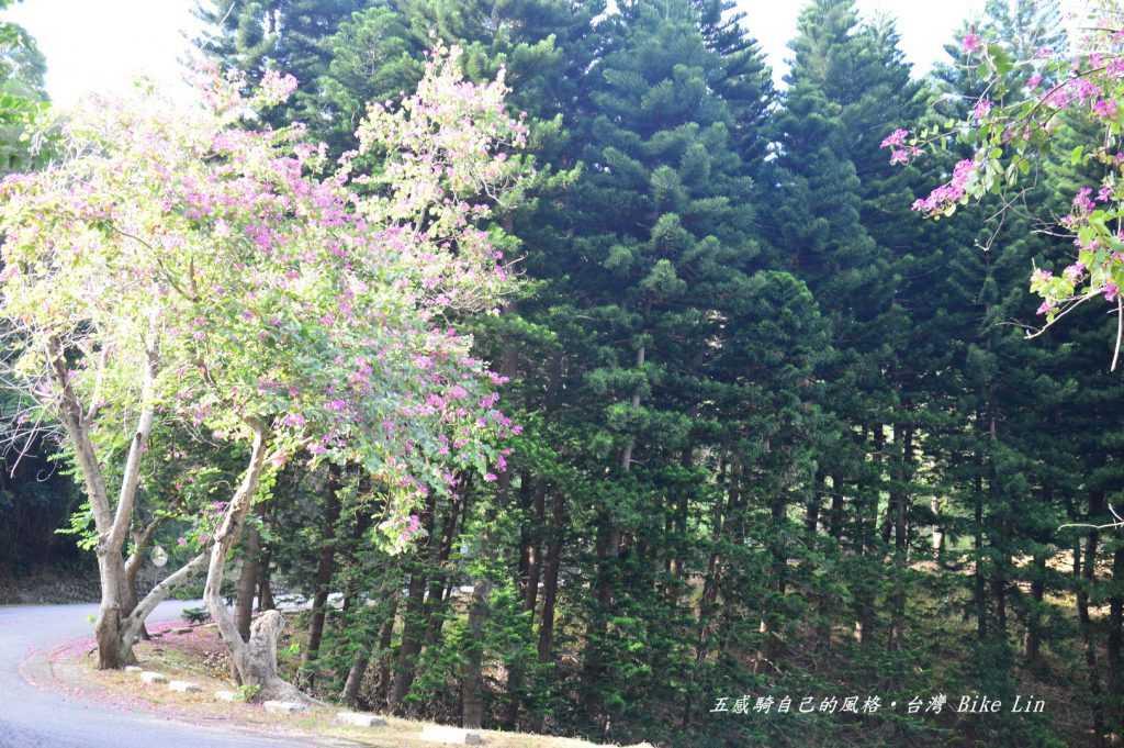 奼紫嫣紅紫荊樹