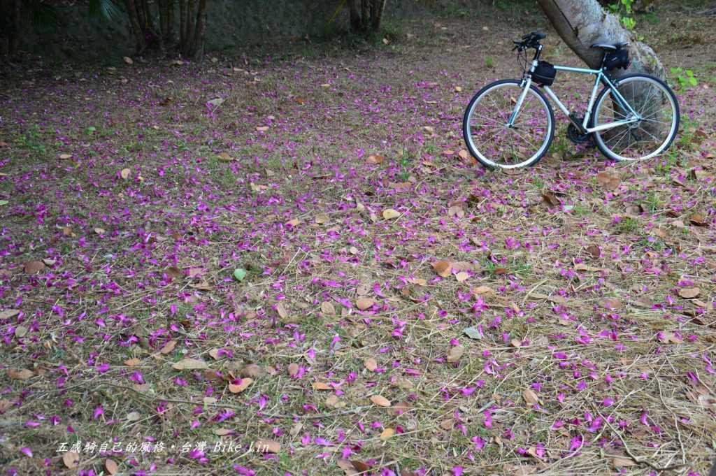 如落雨般嫣紅紫荊花隨風飄拽