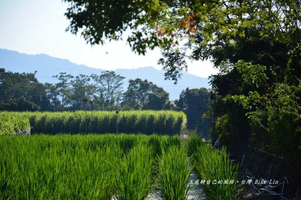 牛眠山下茭白筍田