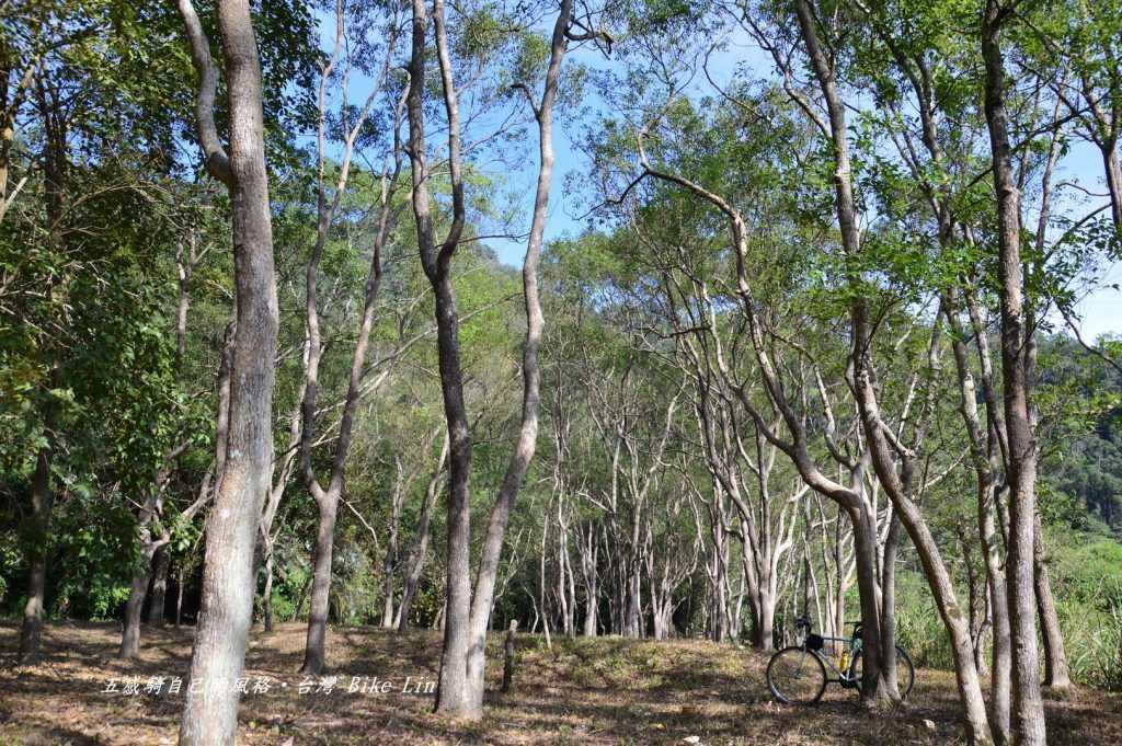 大觀古隧道旁樹林