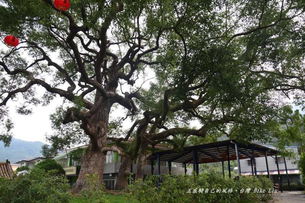 三百年永興神木