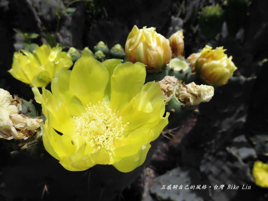 五月盛開仙人掌花