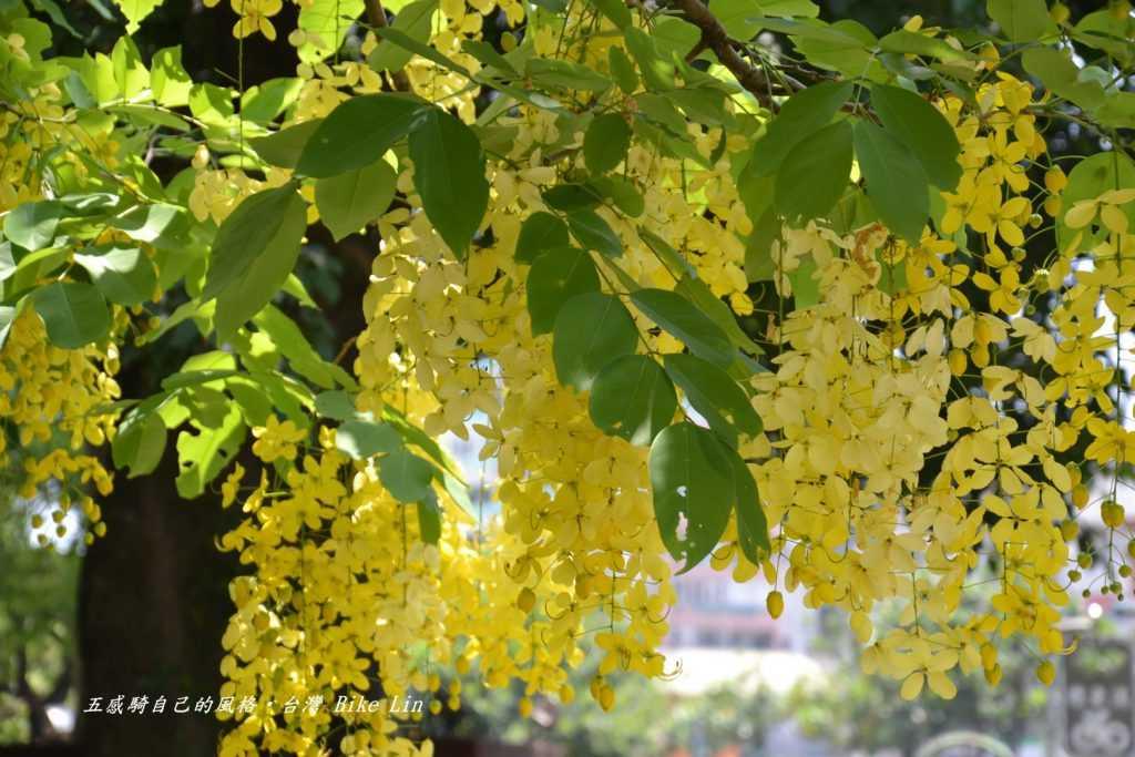 羅東市區公正路六月阿勃勒黃金雨