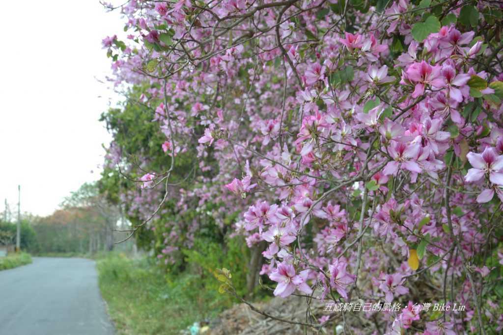 北斗美人樹景觀車道