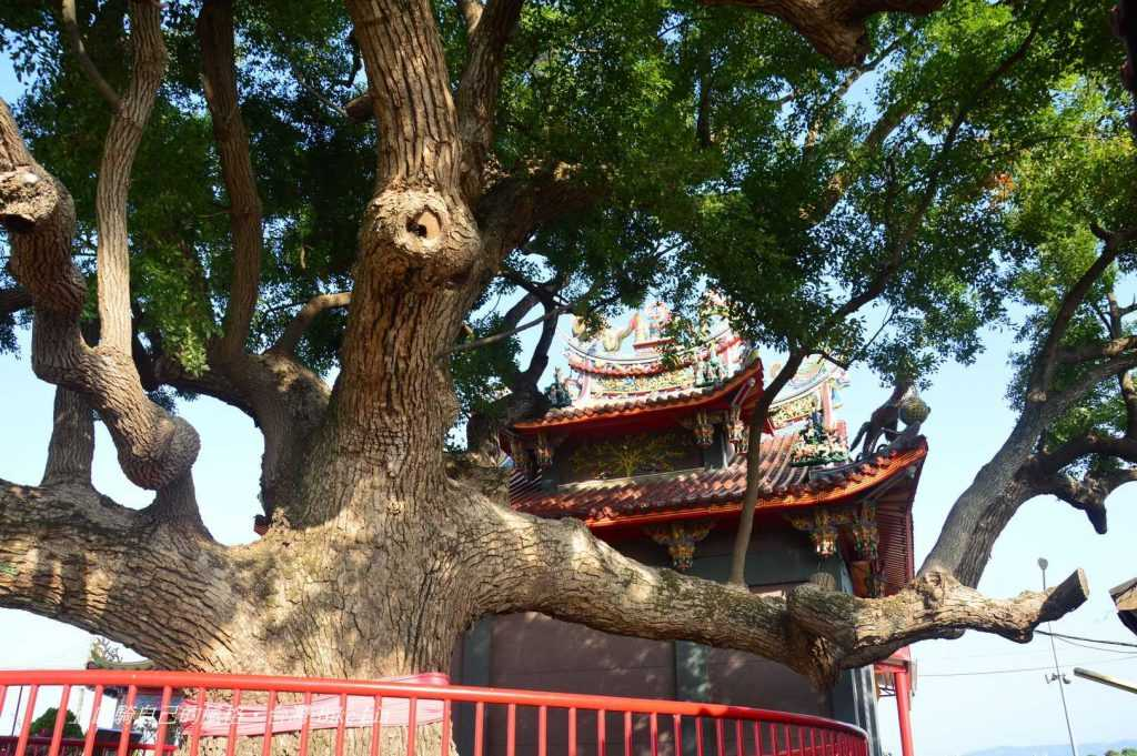 東興宮300年老樟樹