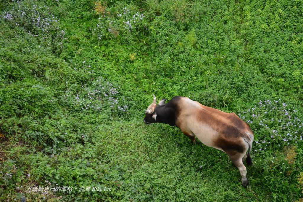 吊橋下專屬牛世界