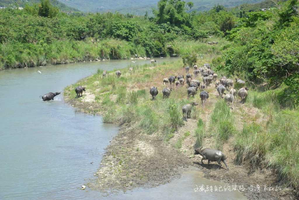 港口溪2015年乍現的水牛群