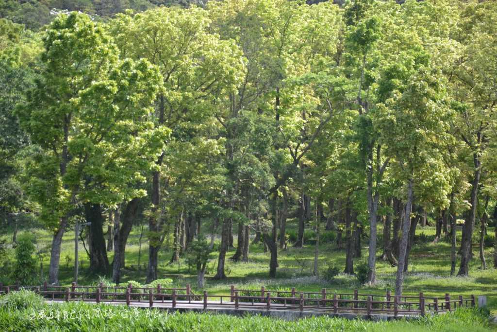 哭泣湖畔桃花心木林翠綠景象