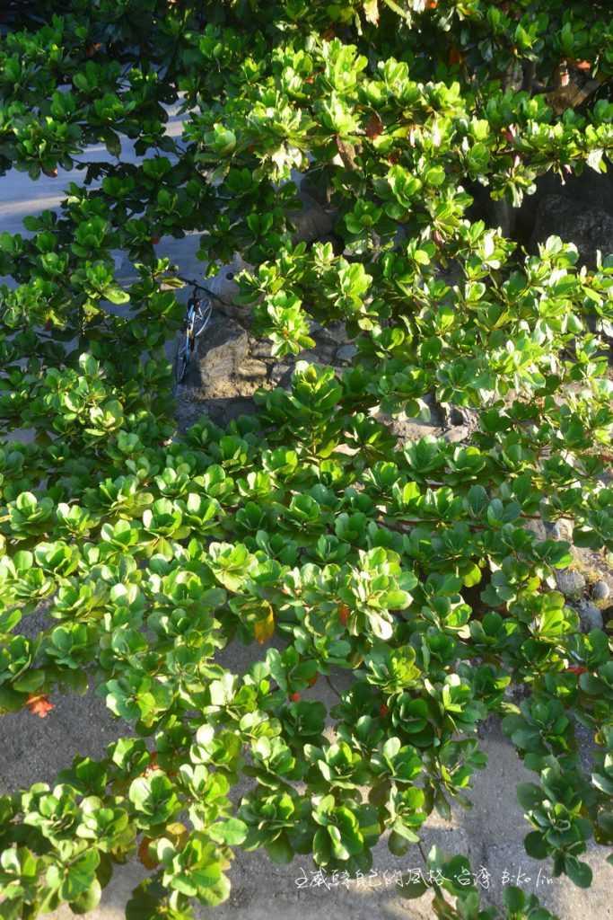 灑滿透亮綠欖仁樹叢