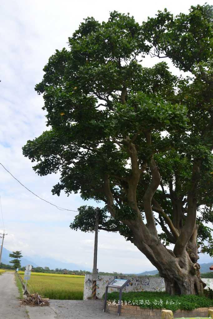 瑞和百年刺桐樹